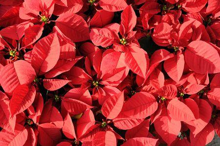 Hermosa flor de pascua flores rojas de fondo Foto de archivo - 5563223