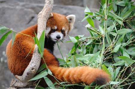 Close up of red panda Stock Photo