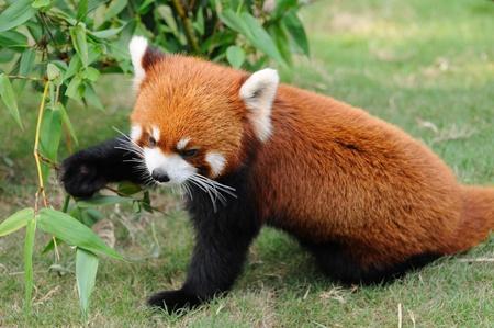 Close up of red panda photo
