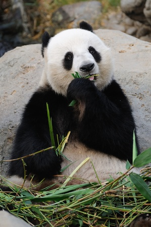 Giant panda eating bamboo leaf Stock Photo - 9508284