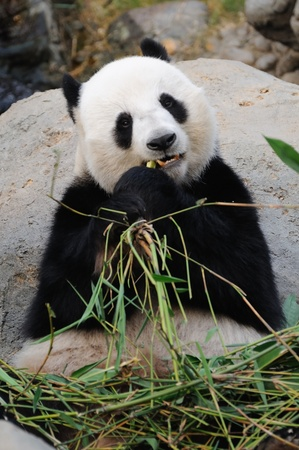 Giant panda eating bamboo leaf photo