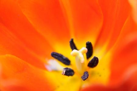pistil: Close up of orange tulip pistil