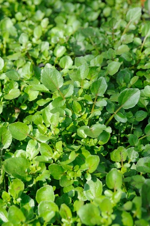 Close up of fresh growing water cress photo