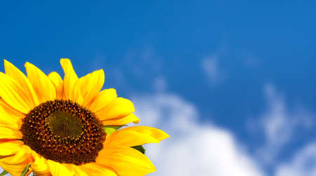beautiful sunflower with blue sky photo