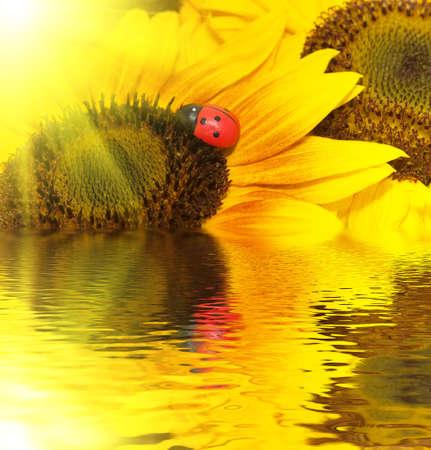 beautiful yellow Sunflower petals and ladybug