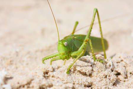 szarańcza: Locust