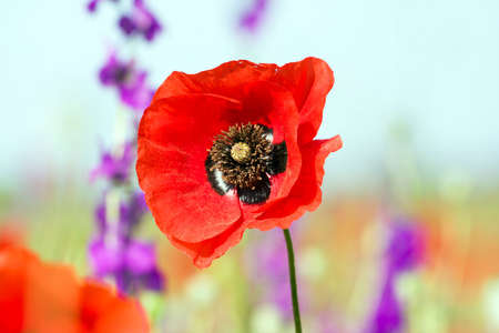 red poppies  Stock Photo - 7141493