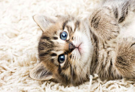 Funny kitten in carpet  Фото со стока