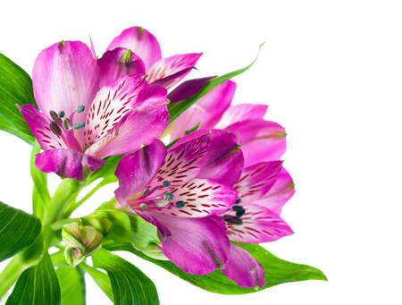 Beautiful pink orchid flower on white background Standard-Bild
