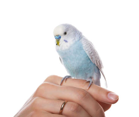 birds eye view: Parrot on hand, isolated on white background  Stock Photo