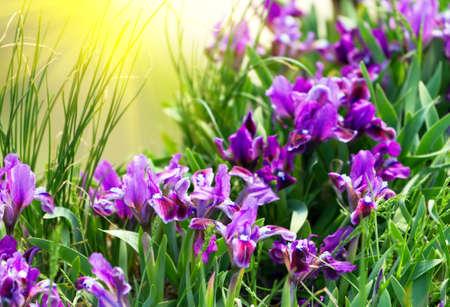 春のアイリスを花します。 写真素材