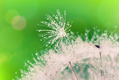 Close-up of wet dandelion seed with drops  Stock Photo