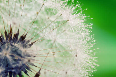 Close-up of wet dandelion seed with drops  Stock Photo - 9524856