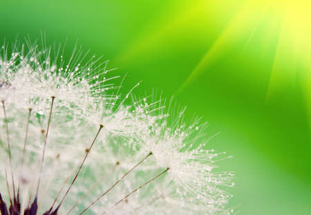 Close-up of wet dandelion seed with drops  photo