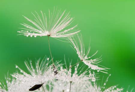 kropla deszczu: Krople z przybliżonym mokrej dandelion materiału siewnego z