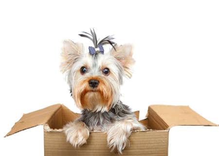 yorke: Yorkshire Terrier in cardboard box