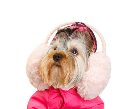 yorke: Yorkshire Terrier