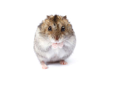 dwarf hamster: Little dwarf hamster isolated on white background