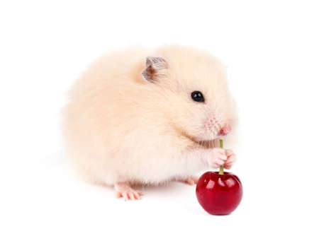 cute hamster: Hamster isolated
