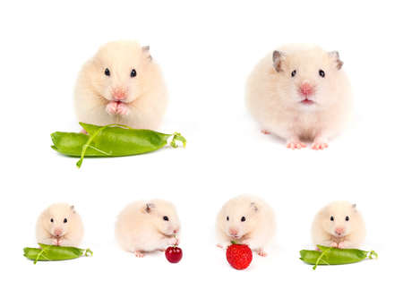 hamsters: Funny hamsters. Set. Stock Photo
