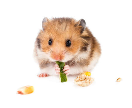 domestic life: Hamster on a white background.