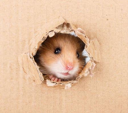 Little hamster looking up in cardboard side torn hole Stok Fotoğraf