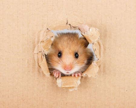 Little hamster looking up in cardboard side torn hole Standard-Bild
