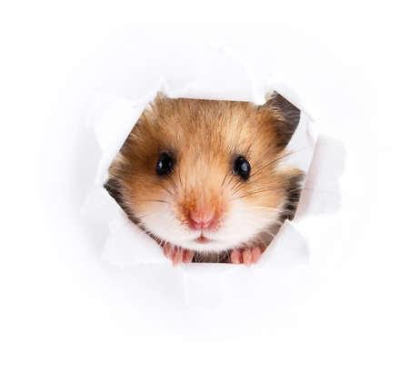 Little hamster looking up in paper side torn hole Standard-Bild
