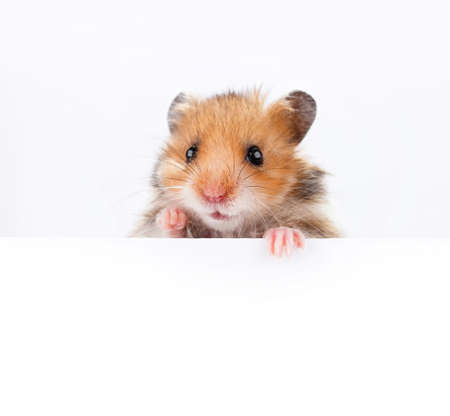Little hamster hanging its paws over a white banner