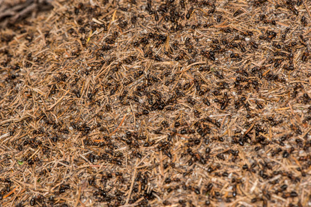 bustle: Millions of red ants build an anthill background. Sunny day