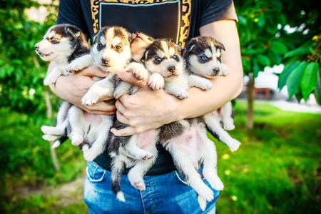 prety: Little prety husky puppy outdoor in hands Stock Photo