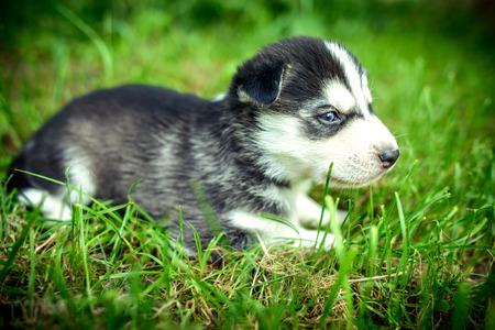 prety: Little prety husky puppy outdoor in the grden