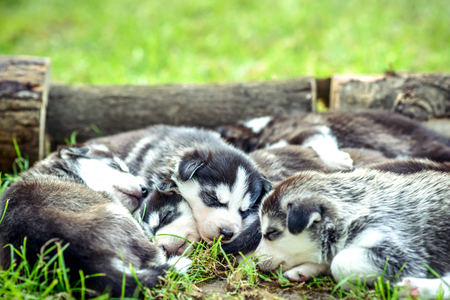 prety: Little prety husky puppies outdoor in the garden