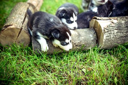 prety: Little prety husky puppies outdoor in the grden