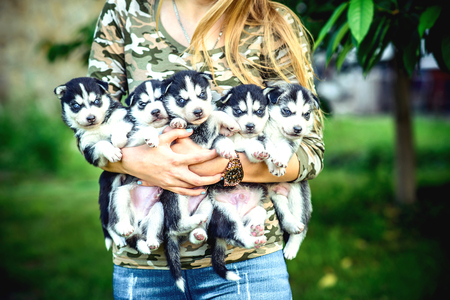 black hands: Little prety husky puppy outdoor in womans hands