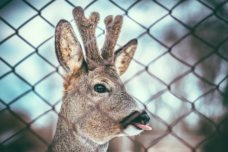 mother and baby deer: Little baby deer showing tongue outdoor Stock Photo