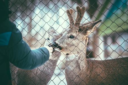 malla metalica: Dos ciervos liitle bebé comiendo de la mano del hombre detrás de la malla metálica