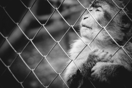servitude: Lonely monkey sitting behind the cage