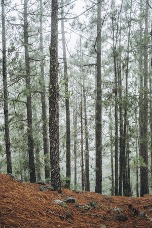 Forest with trees in fog in the morning