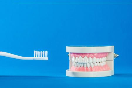 molars: Model of teeth Stock Photo