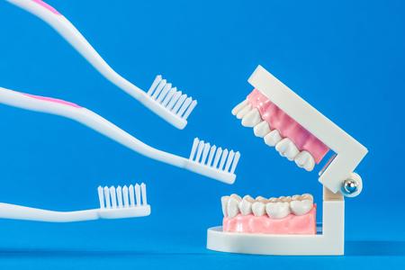 molares: Modelo de dientes