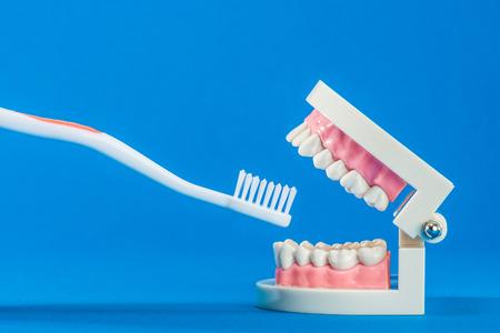 Model of teeth Stock Photo