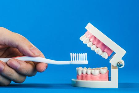 hypersensitivity: Model of teeth Stock Photo