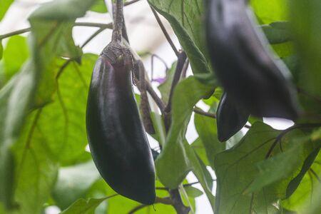 berenjena: Eggplant Foto de archivo