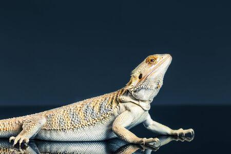 Hoop bearded lizard