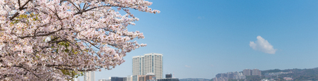 Cherry blossoms, spring image