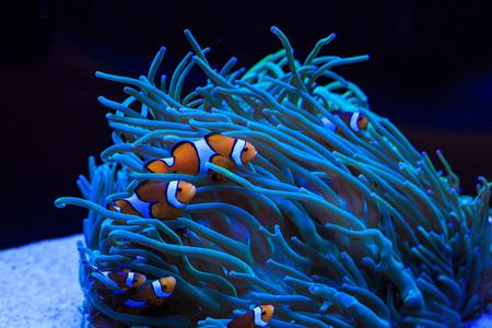 clown fish: sea anemone and anemone fish