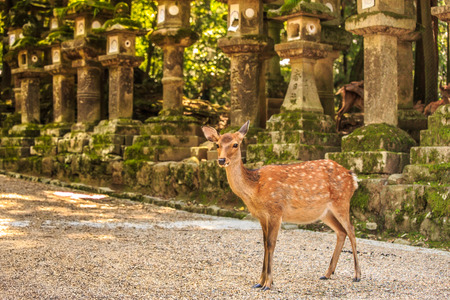 deer in Nara Japan Stok Fotoğraf