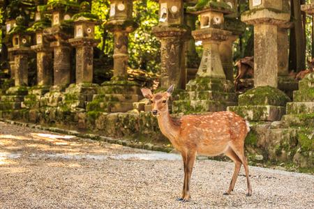 deer in Nara Japan Standard-Bild