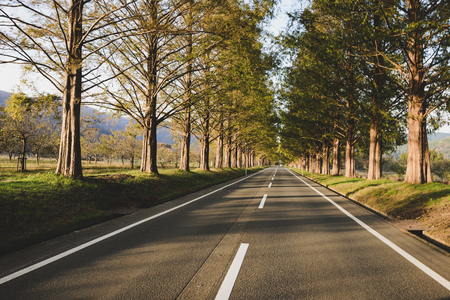 Metasequoia trees and roads